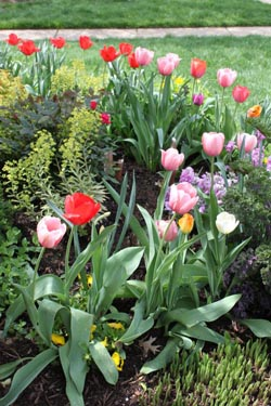 2015 Tulips - Tom's Garden - Photo by Ron Patterson