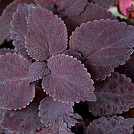 Photo of Dark Star Coleus