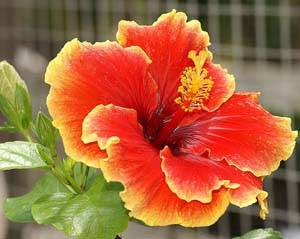 Photo of Hibiscus