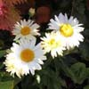 Photo of Daisies - Tom's Garden 2010