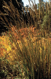 Photo of Ornamental Grass