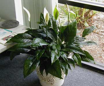 Photo of Peace Lilly