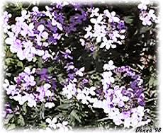 Photo of Phlox