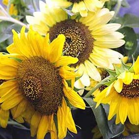 Photo of Sunflowers