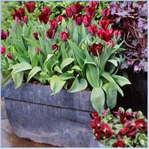 Photo of Tulips in a Container