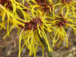 Photo of Witch Hazel